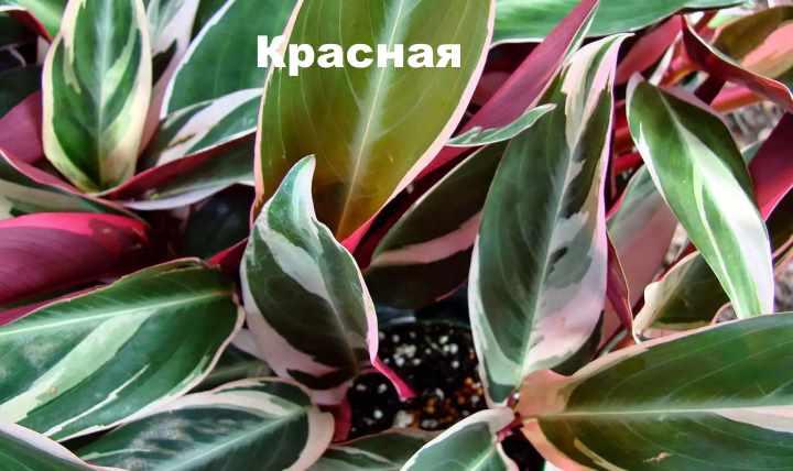 Вид растения - строманта красная