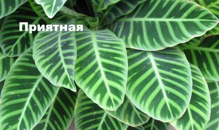 Вид растения - строманта приятная