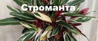 Растение строманта