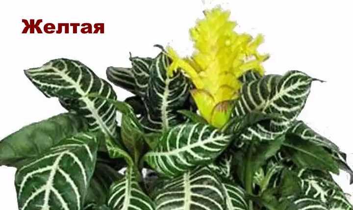 Вид растения - строманта желтая