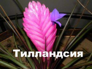 Растение тилландсия цветет