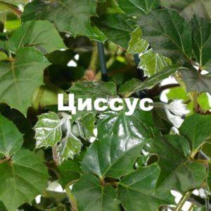 Внешний вид растения циссус