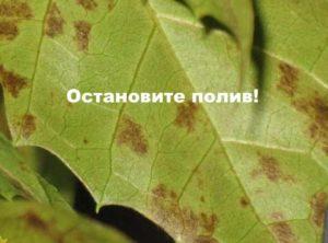 Коричневые пятна на листе циссуса