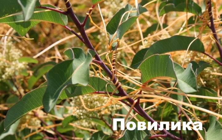 Сорняк повилика