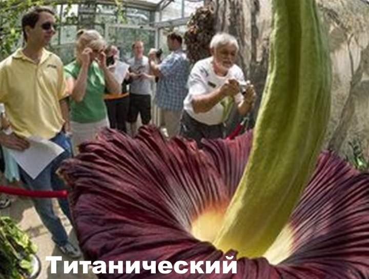 Сорт маорфофаллуса - титан