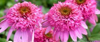 Три цветка эхинацеи