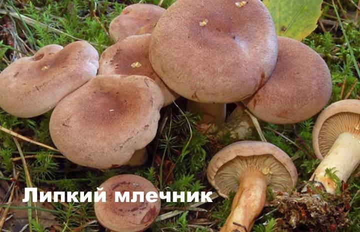 Вид гриба - Липкий млечник