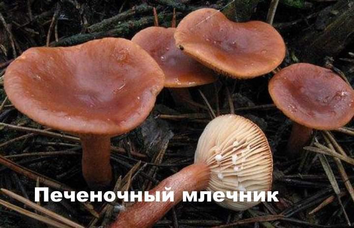 Вид гриба - Печеночный млечник