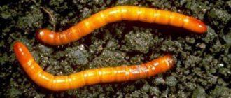 Личинки жука щелкуна