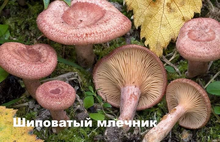 Вид гриба - Шиповатый млечник