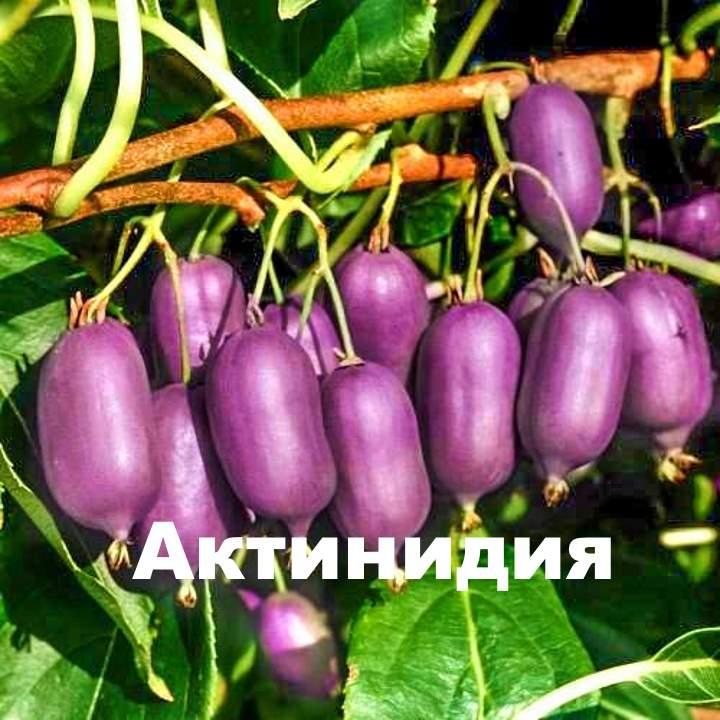 Синие плоды актинидии