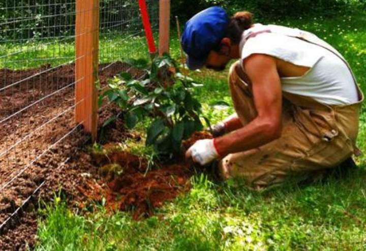Как посадить актинидию