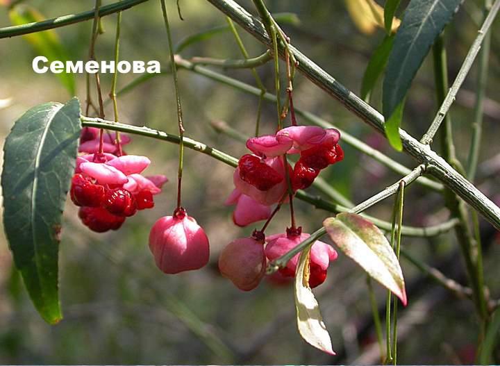 Сорт растения бересклета - Семенова