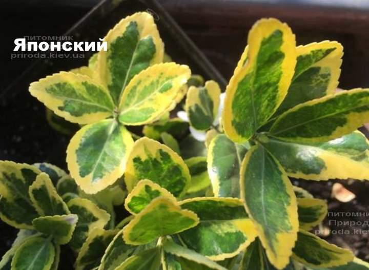 Сорт растения бересклета - Японский