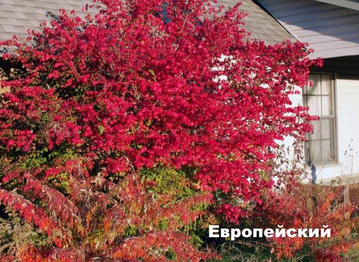 Сорт растения бересклета - европейский
