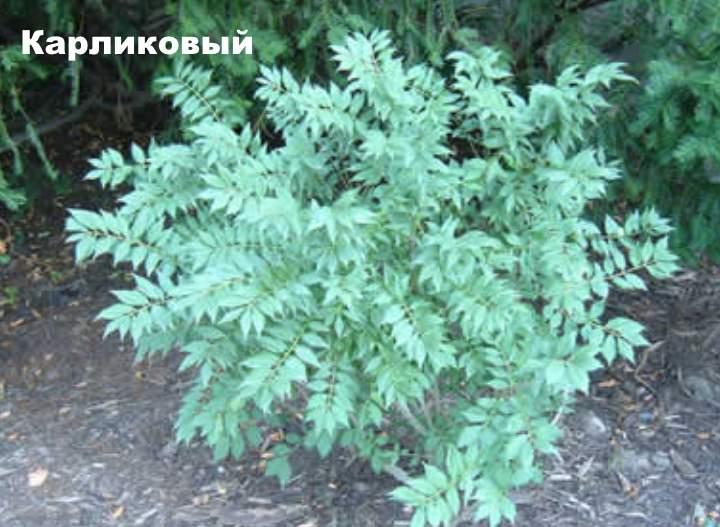Сорт растения бересклета - карликовый