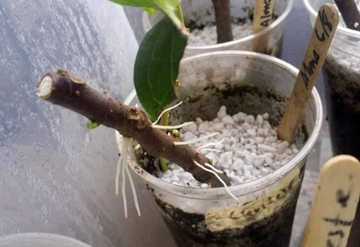 Размножаем актинидию