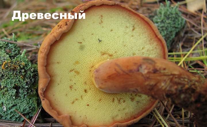 Разновидность моховика - древесный