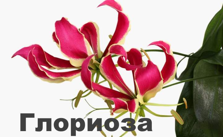 Цветок глориоза выращивание комнатного растения