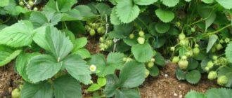 Обрабатываем клубнику по осени
