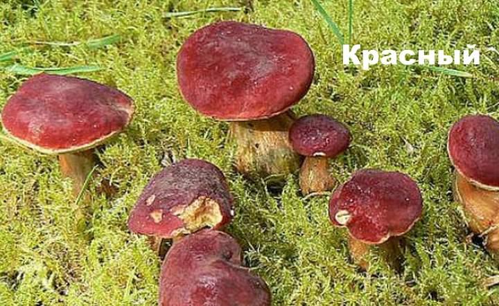Разновидность моховика - красный