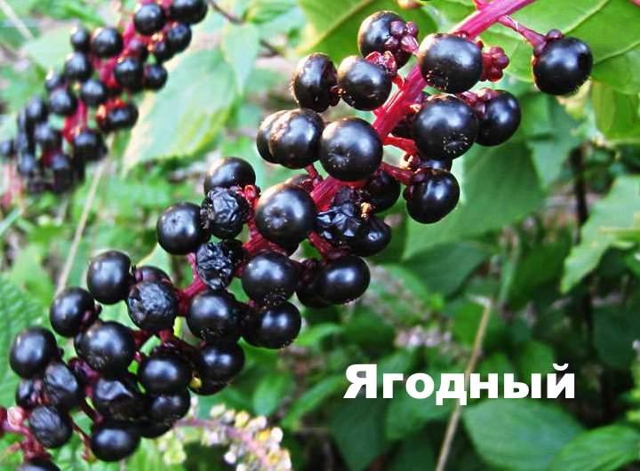 Сорт лаконоса - ягодный