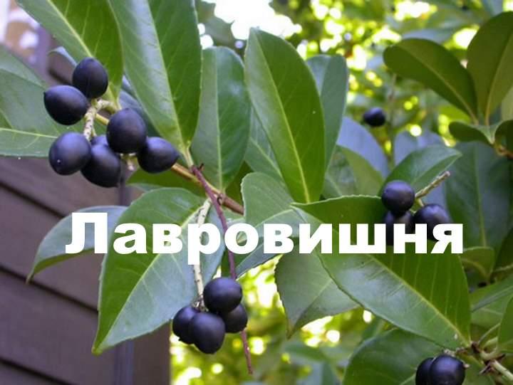 Растение лавровишня