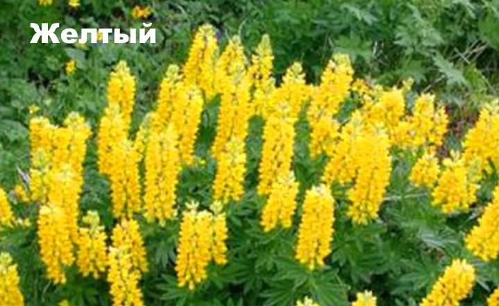 Сорт растения - люпин Желтый