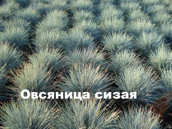 Кусты овсяницы