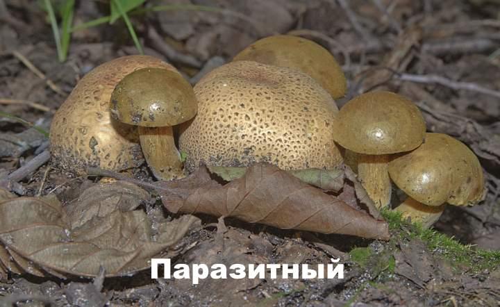 Разновидность моховика - паразитный