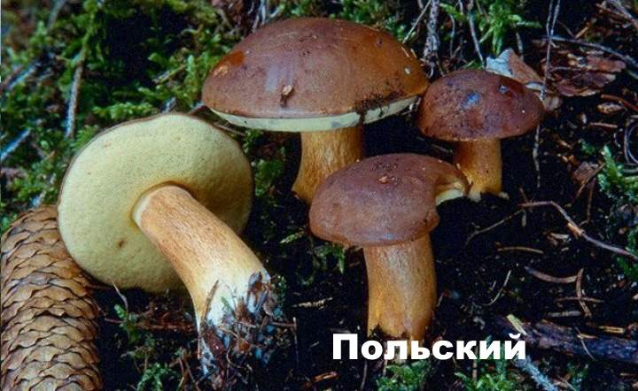 Разновидность моховика -
