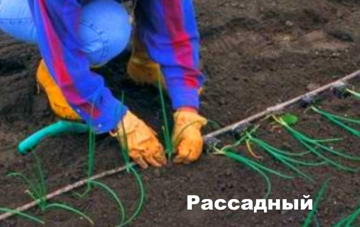 Способ посадки лука