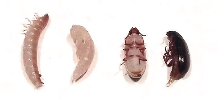 От личинки до жука