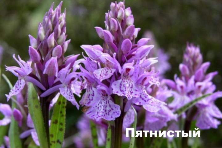 Вид растения - ятрышник Пятнистый