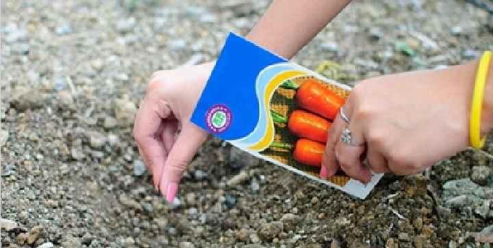Морковь перед посадкой