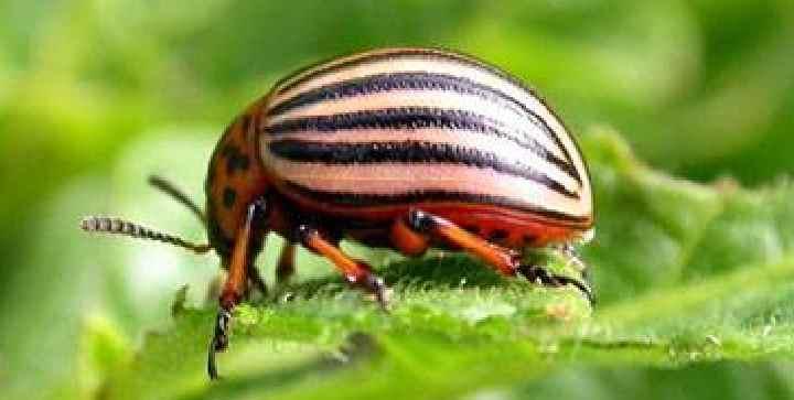 Внешность колорадского жука