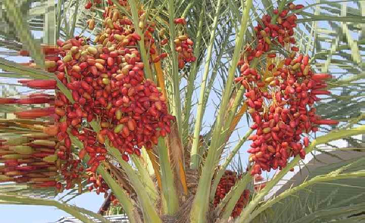 Вид финиковой пальмы - Робелена