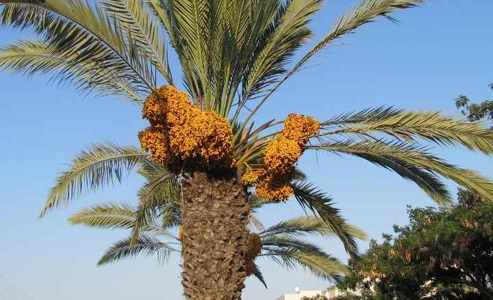 Вид финиковой пальмы - теофраста