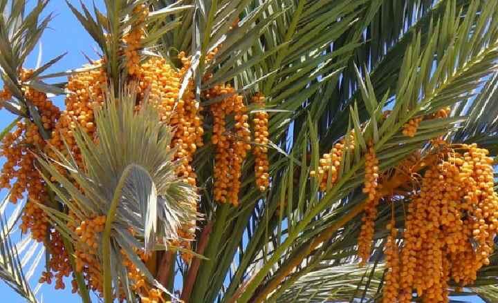 Внешний вид финиковой пальмы