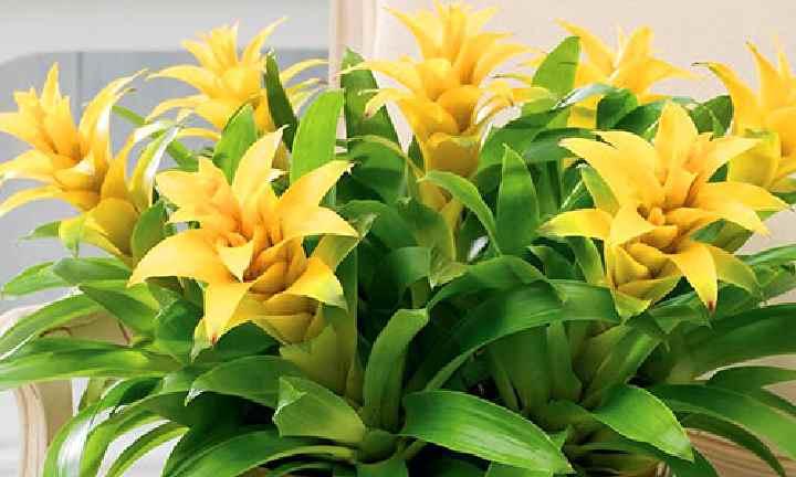Вид гусмании желтого цвета