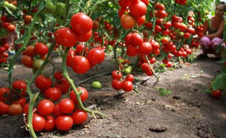 Удобрение золой помидоров
