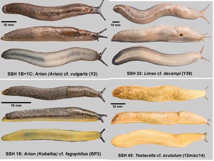 4 вида слизняков