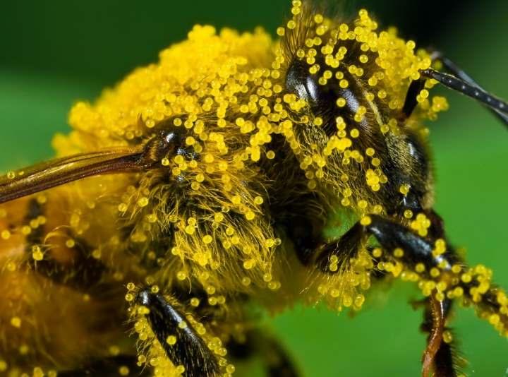 Пчела в пыли