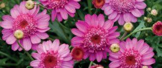 Розовые аргирантемумы