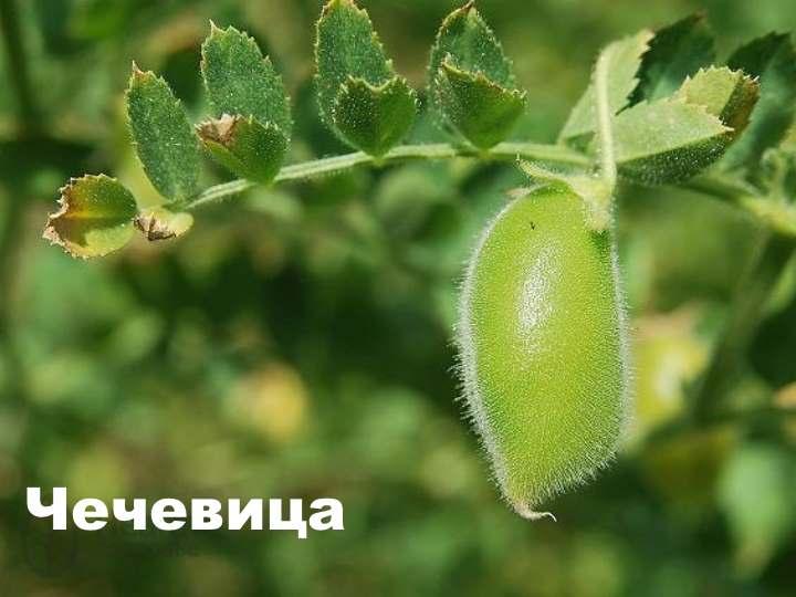 Вид растения - чечевица