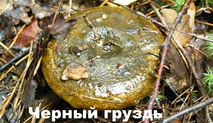 Лесной гриб - черный груздь