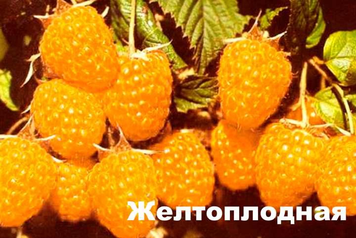 Гроздь желтой малины