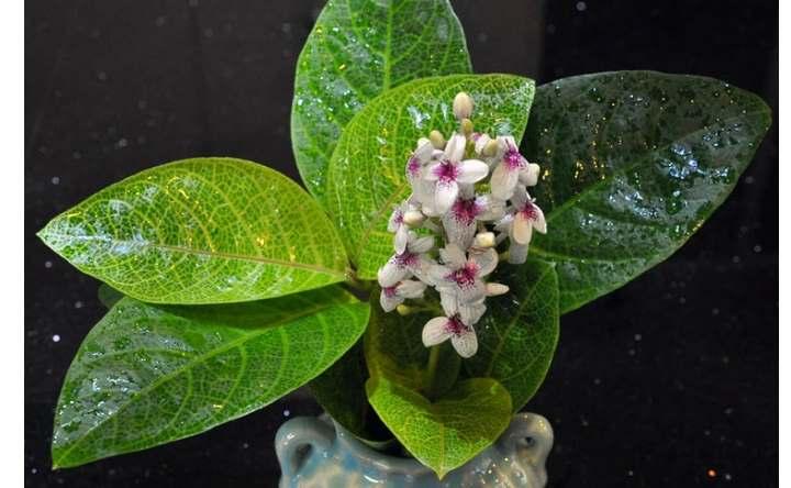 Глянцевые листья псевдоэрантемума