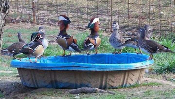Утки в синем пруду