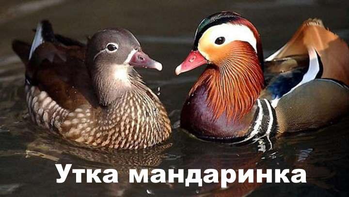 Уточки мандаринки в озере